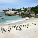 Cape Penguin Colony Tours