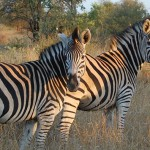 Cape Safari Tour